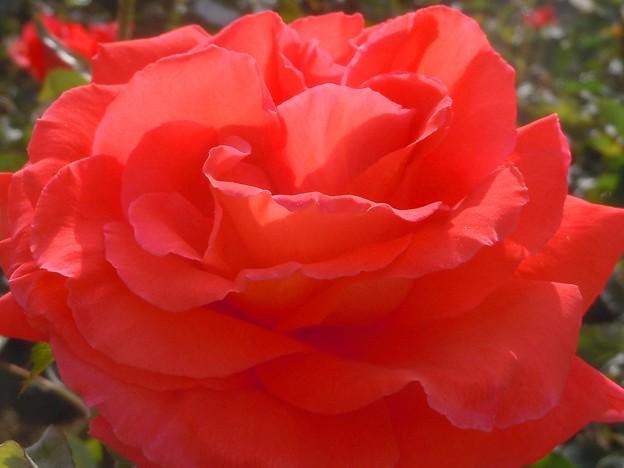 オレンジピンクな薔薇の花
