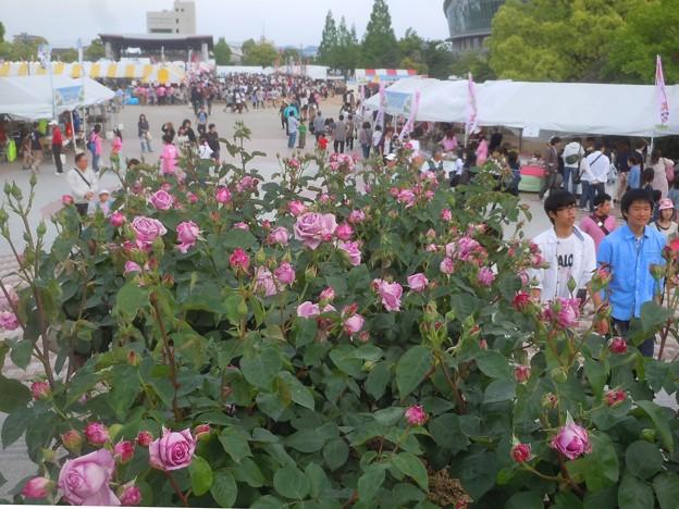 福山ばら祭2013