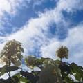 見上げれば柏葉紫陽花