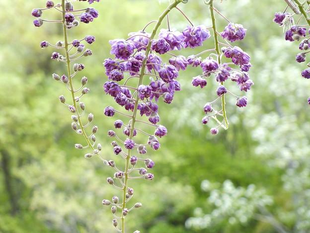 八重咲き藤
