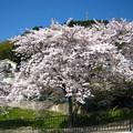 Photos: 琵琶湖疎水の桜