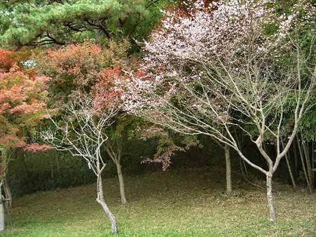 もみじ&桜-181114-1