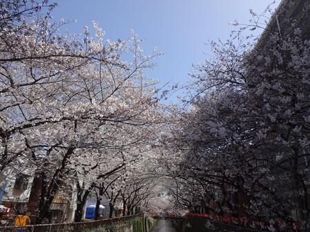 2013.3.21 目黒川の桜