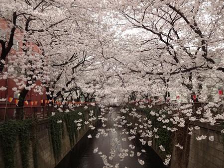 2013.3.25 目黒川の桜 中目黒駅から上流へ4つめの橋
