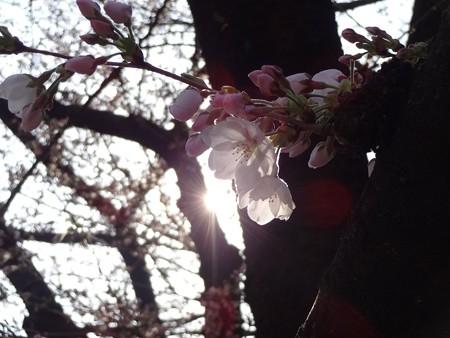 2014.3.28 目黒川の桜