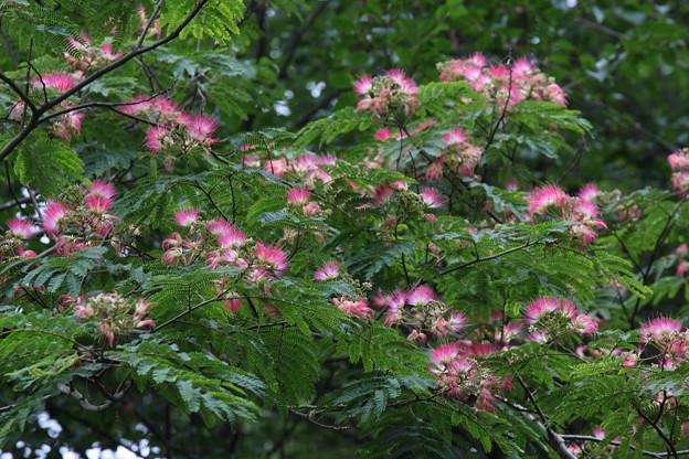 ネムノキ(合歓の木)