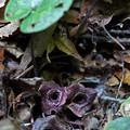 タマノカンアオイ(多摩の寒葵)