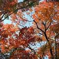 写真: 仰ぎ見る紅葉