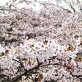 町内の桜2014
