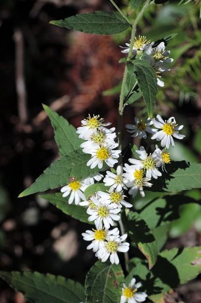 ヤマシロギク(山白菊)  キク科シオン属