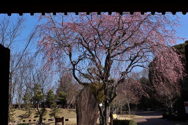 ベニシダレザクラ(紅枝垂れ桜) バラ科