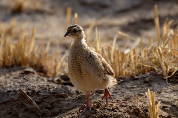 シマシャコ 幼鳥