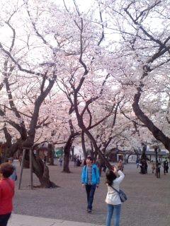 桜の境内(靖国神社)。