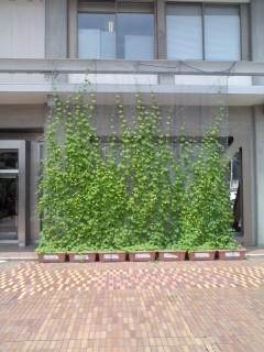 緑のカーテン(7月30日、鎌倉市役所)