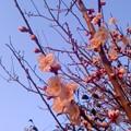 写真: 夕梅二(3月9日、北鎌倉)
