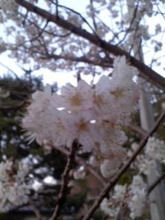桜(3月22日、座間市)