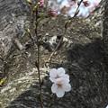 Photos: 桜_公園 F9278