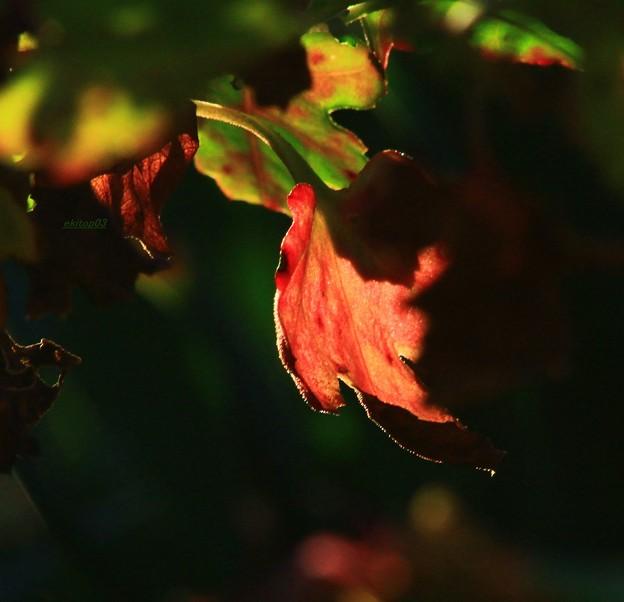 夕映え菊葉