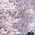 写真: 輝くような春の日の光景@真岡鐵道 久下田 2014/04/05