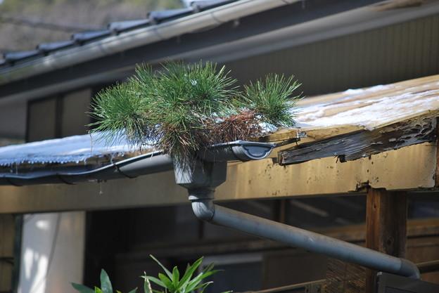雨樋の松 2月