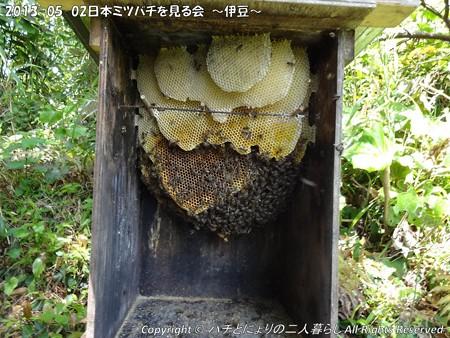 2013-05-02日本ミツバチを見る会~伊豆~ (3)