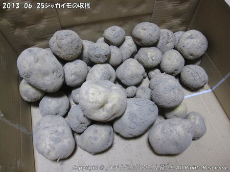 2013-06-25ジャガイモの収穫 (3)