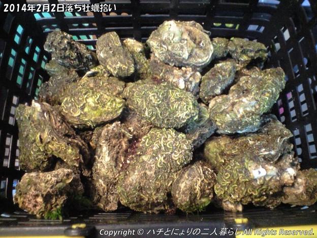 Photos: 2014年2月2日落ち牡蠣拾い (1)