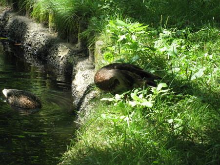 北大の池のカモ