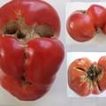 写真: へんな形のトマト