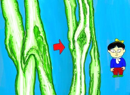 キュウリ接ぎ木その2