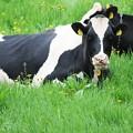 写真: モデル牛