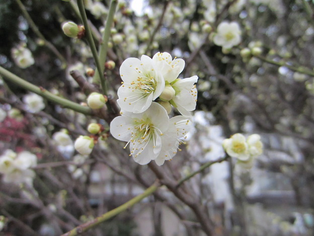 13.02.19. 亀戸天神社・梅8