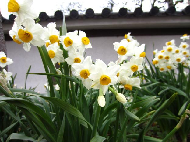 房咲水仙2