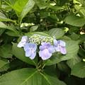 紫陽花・浜離宮恩賜庭園 (7)
