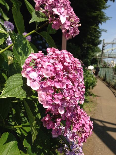 紫陽花・飛鳥の小径・飛鳥山公園3