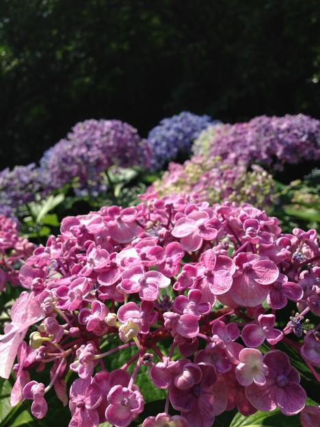 紫陽花・飛鳥の小径・飛鳥山公園5