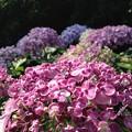 Photos: 紫陽花・飛鳥の小径・飛鳥山公園5