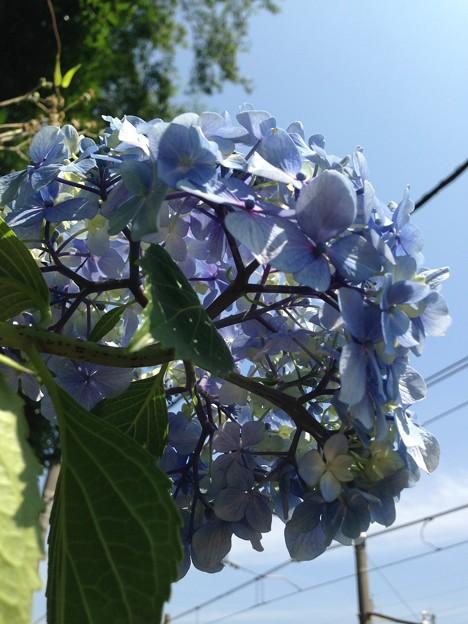 紫陽花・飛鳥の小径・飛鳥山公園13