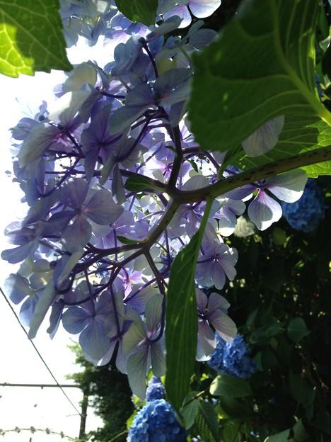紫陽花・飛鳥の小径・飛鳥山公園14