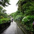 Photos: 鎌倉 成就院 紫陽花1