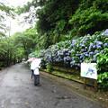 鎌倉 明月院通り・紫陽花1