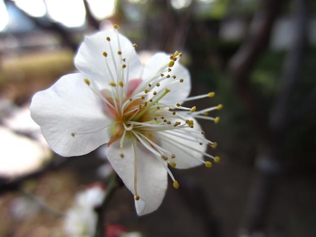 14.02.07.台東区立隅田公園 白梅