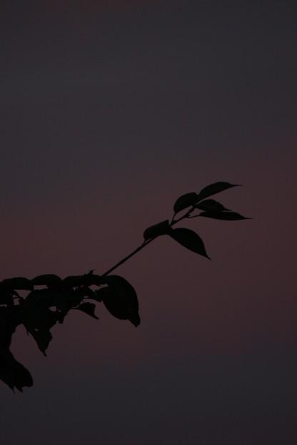 静寂。(八月の桜)