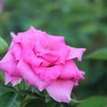 君は薔薇!