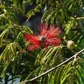 ~紅い合歓の花~