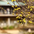 ~春黄金花~
