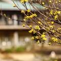 Photos: ~春黄金花~