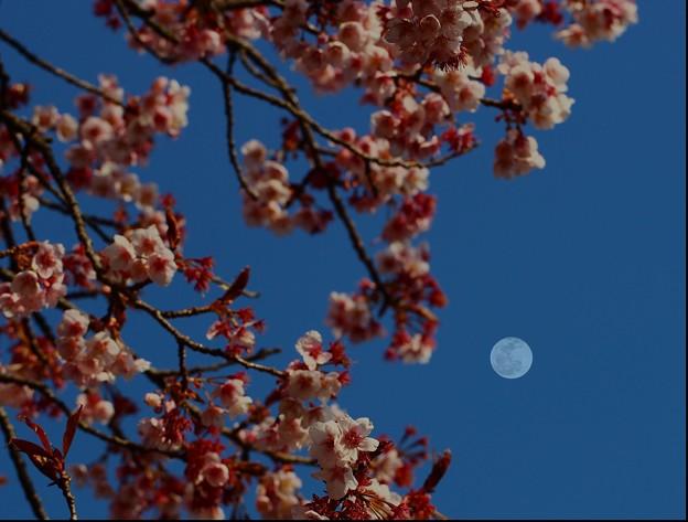 写真: ~月見桜~