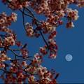 ~月見桜~
