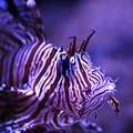 ~Luna Lionfish~